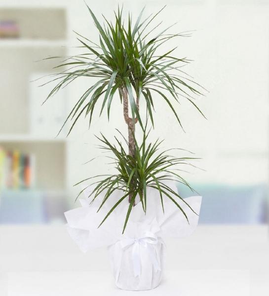 Marginata Çiçeği