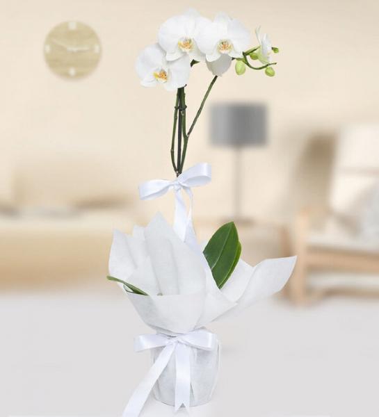 Tekli Beyaz Orkide