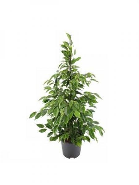 Küçük Ficus Çiçeği