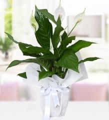 Spat Çiçeği
