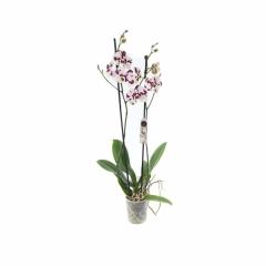 Benekli Mor Çiftli Orkide