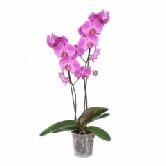 Çift Dal Pembe Orkide